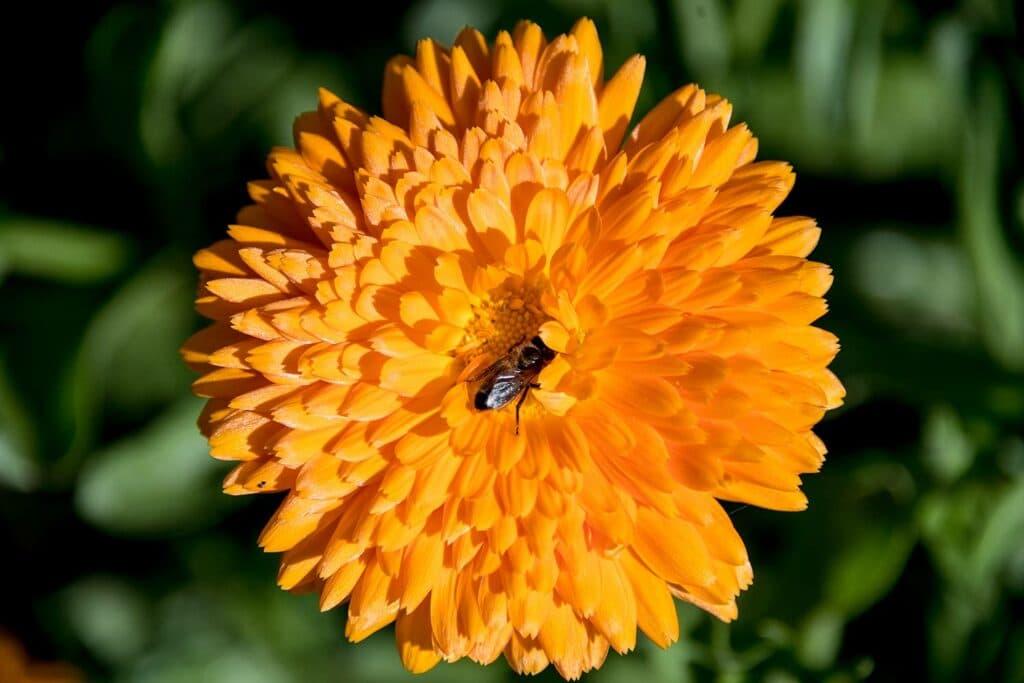 Beauty Garden calendula